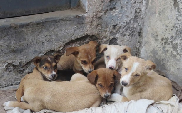 street dogs puppies india