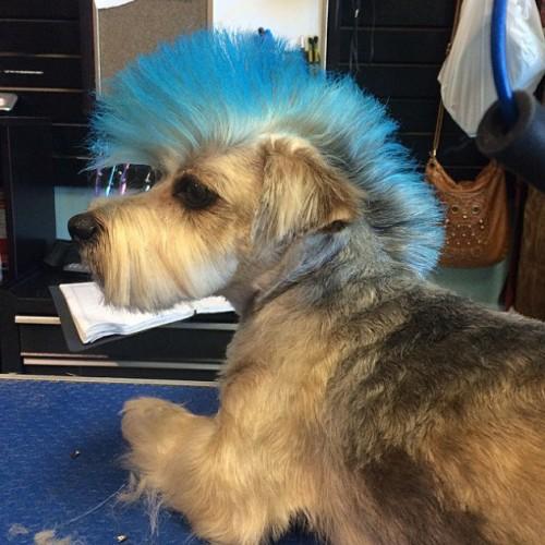 Rockstar Dog Hairstyle