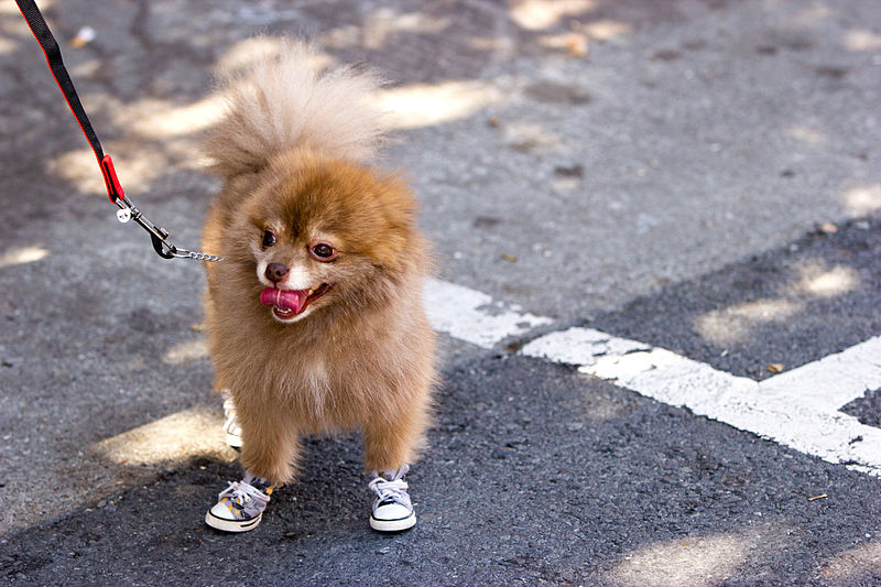 800px-san_francisco_pride_parade_2012_dog_with_shoes
