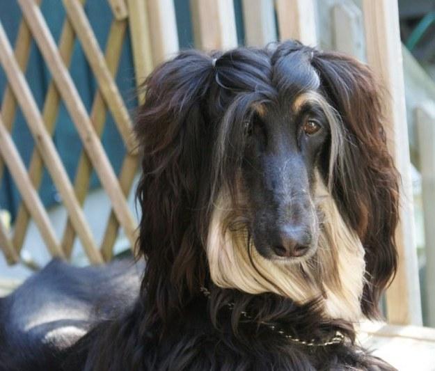 Diva Dog Hairstyle